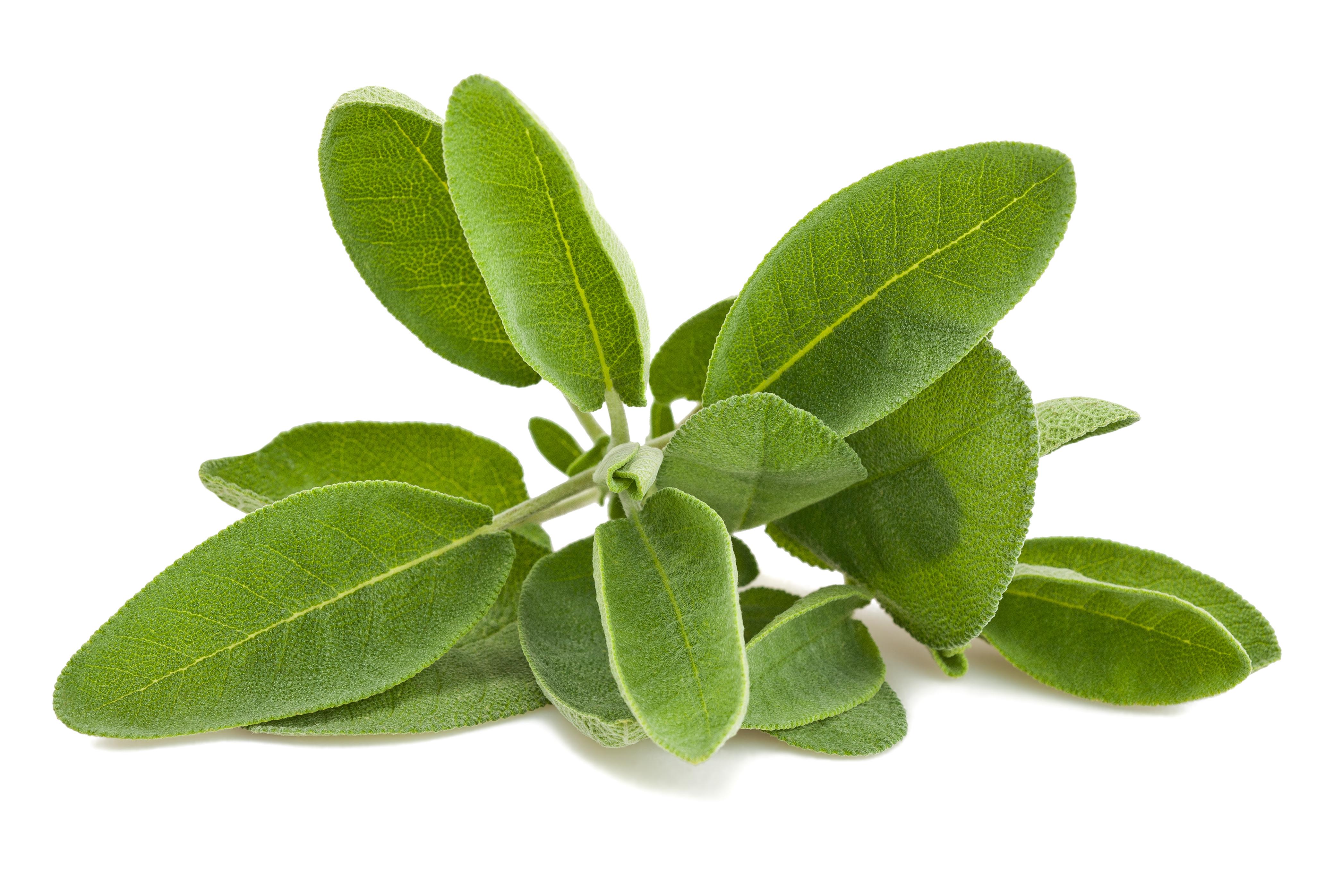 Piante e acquaponica irciponic for Salvia da colorare